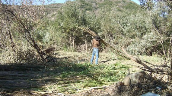 arundo removal at the bottom of the Ventura River