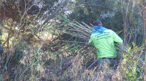 Arundo Donax removal