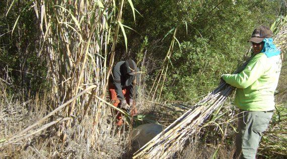 ventura river arundo cleanup